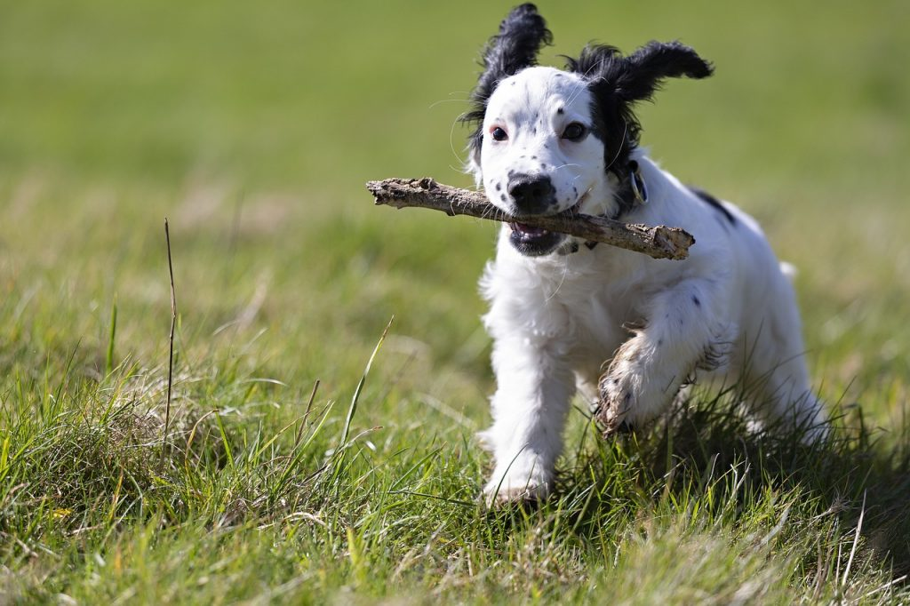 fetch, stick, puppy